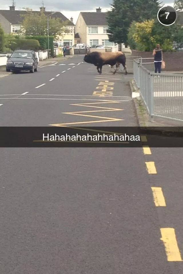 A captured Snapchat of the bull on the loose in Bay Estate